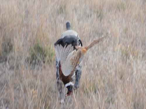 Duke with Pheasant