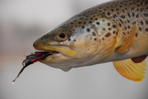 Brown Trout Caught On A Streamer