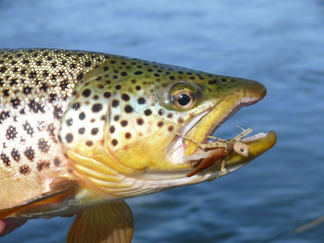 Lower Bighorn River Brown Trout