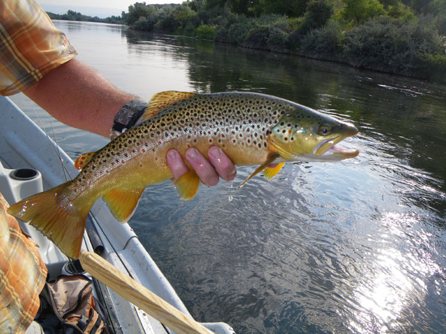An average Lower Bighorn River Brown Trout that ate a hopper, caught by Kunio from Japan.