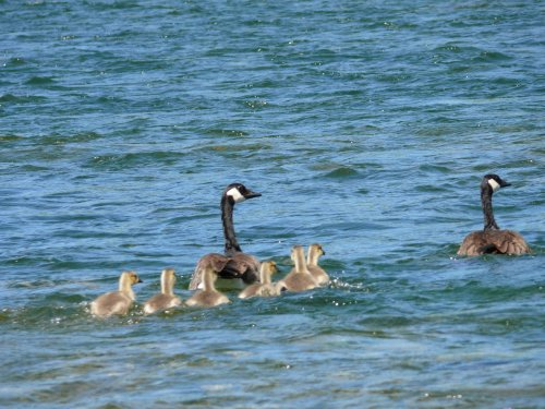 Geese with their goslings.