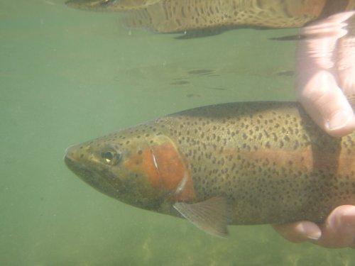Bighorn River Trout