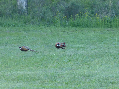 pheasantsbehindlodge