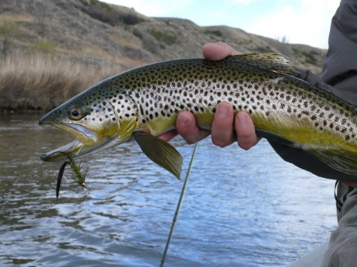 Bighorn river streamer fishing green wooly bugger for Bighorn river fly fishing
